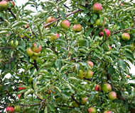 apples on apple tree branch Stock Photography