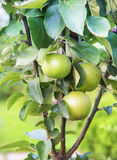Apples on an apple-tree branch Royalty Free Stock Image