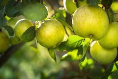 Apples on apple tree branch. Selective focus Stock Images
