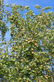 Apples on apple-tree branches Stock Photography