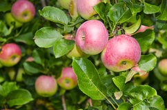Apples on apple tree branches Royalty Free Stock Images