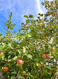 Apples on apple-tree Stock Photography