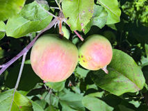 Apples on apple tree branches Royalty Free Stock Photo