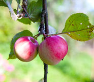 Apples on apple-tree branches.Close up in a sunny day Stock Photography