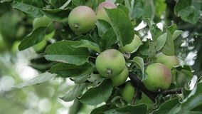 Apples on apple tree branches. Green young apples on a branch of apple tree in the garden stock video footage