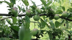 Apples on apple tree branches. Green young apples on a branch of apple tree in the garden stock video