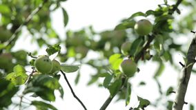 Apples on apple tree branches. Green young apples on a branch of apple tree in the garden stock footage