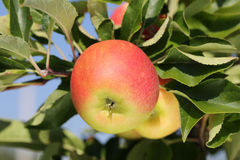 Apples on an apple tree in a garden Stock Photography