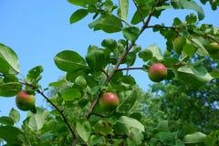 Apples on apple tree Stock Photo