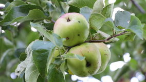 Apples on an apple tree. Shake a breeze stock video