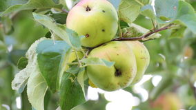 Apples on an apple tree. Shake a breeze stock footage