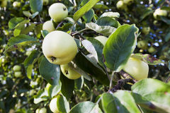 Apples on an apple tree Stock Image