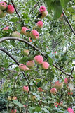 Apples on apple tree view from below Royalty Free Stock Photography