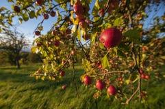 Apples am appletree Stockfoto