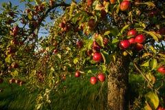 Apples am appletree Lizenzfreies Stockbild