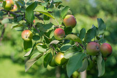 Apples in appletree. Close up to branch and apples. Stock Images