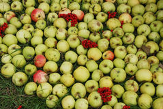 Apples and ashberry Stock Photo