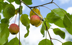 Apples in August Siberia Royalty Free Stock Image