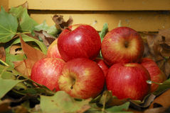 Apples in automn Stock Photography