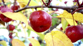 Apples in Autumm. Autumn Apple on the Tree, red and yellow fall colors Stock Images