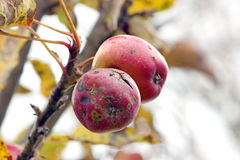 Apples in autumn Royalty Free Stock Images