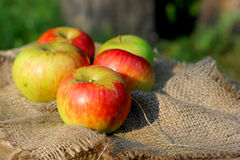 Apples on  autumn coarse cloth sacking background Royalty Free Stock Images