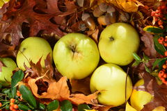 Apples. In autumn in the forest royalty free stock photos