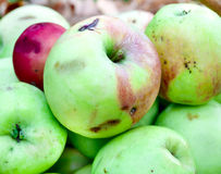 Apples in the autumn garden. Natural wormy apples, collected in the autumn garden Stock Photos