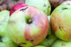 Apples in the autumn garden. Natural wormy apples, collected in the autumn garden Stock Image