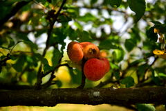Apples. Autumn apples, the last tree, fall colors, tree, leaves, branch, tasty and healthy food, good for children, contain vitamins Royalty Free Stock Image