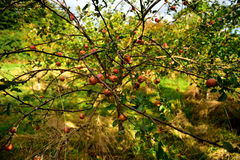 Apples. Autumn apples, the last tree, fall colors, tree, leaves, branch, tasty and healthy food, good for children, contain vitamins, green gras Stock Images