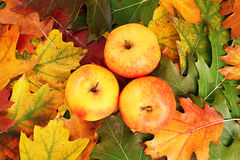 Apples on the autumn leaves Stock Photo