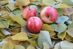 Apples on autumn leaves Royalty Free Stock Images