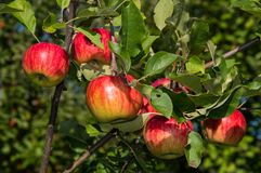 Apples. Autumn orchard with ripping apples Stock Photo