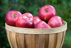 Apples in a Basket. Red apples in a wooden basket Royalty Free Stock Photos