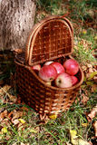 Apples in a basket. Basket with apples, which stands on the ground under a tree Royalty Free Stock Image