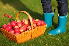 Apples in basket. Autumn concept. Apples in basket and blue rain boots Royalty Free Stock Images