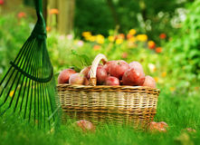 Apples in basket. Orchard.Healthy Organic Apples in the Basket Stock Image