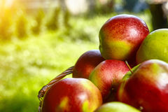 Apples in the Basket. Royalty Free Stock Photography