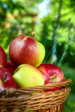 Apples in the basket Stock Photos