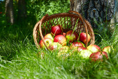 Apples in the Basket. Stock Image