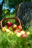 Apples in the Basket. Stock Photo