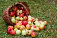 Apples in basket. Healthy Organic Apples in the Basket Royalty Free Stock Photography