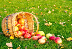 Apples in a basket. Autumn scene. Healthy organic apples falling out of a basket Royalty Free Stock Images
