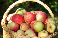 Apples in the basket. Ripe apples in the basket on the grass Stock Images