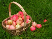 Apples in the basket. Apples: harvest of the orchard stock image