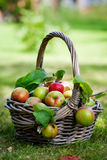 Apples in basket. Fresh and colorful apples in basket, selective focus Royalty Free Stock Photo