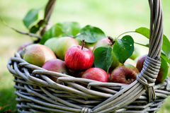Apples in basket. Fresh and colorful apples in basket, selective focus Royalty Free Stock Image