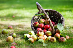 Apples in basket. Fresh and colorful apples in basket, selective focus Royalty Free Stock Images