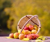 Apples in the Basket Stock Photography